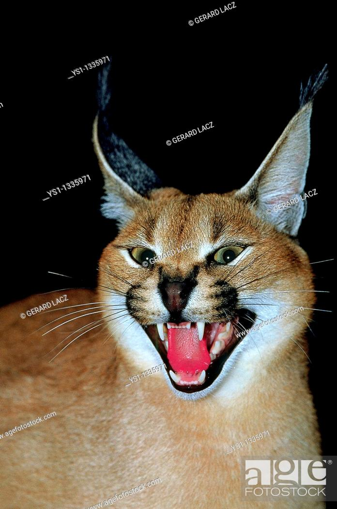Stock Photo: CARACAL caracal caracal, ADULT SNARLING IN THREAT POSTURE.