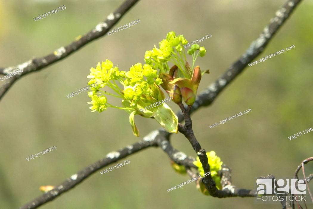 Stock Photo: beautiful, berne, blumenpracht, blurred, buds, burgdorf, chlorophyll.