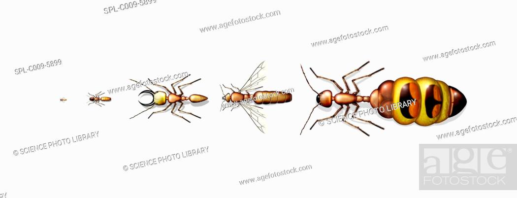 Stock Photo: Ant types. Computer artwork showing five different types of ant, ranging from small left to large right.