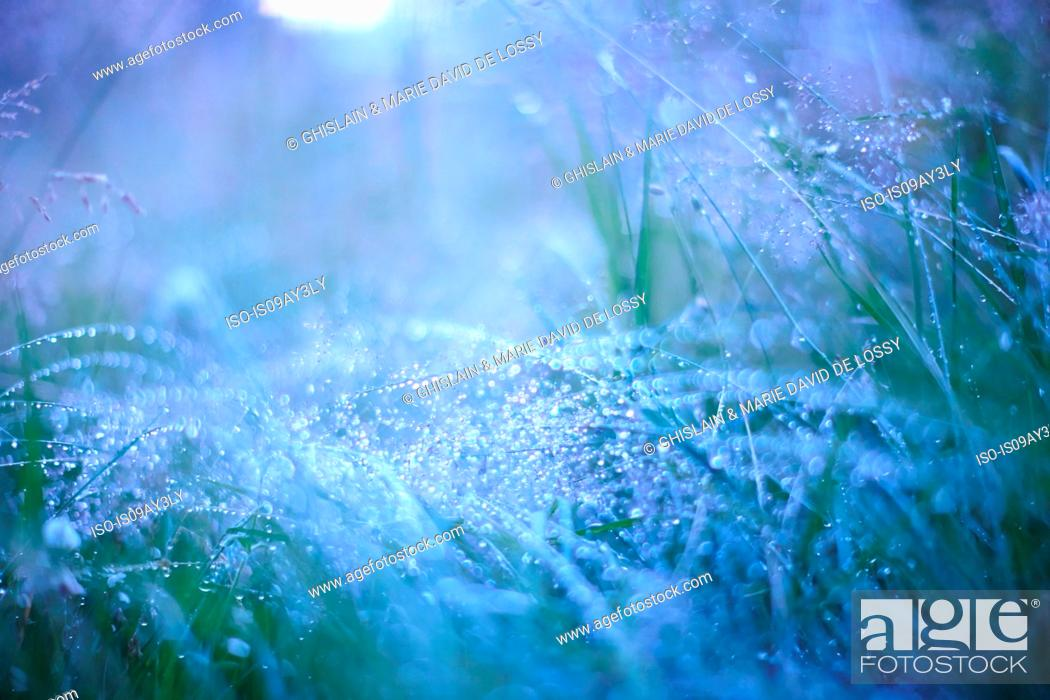 Stock Photo: Morning dew on long grass.