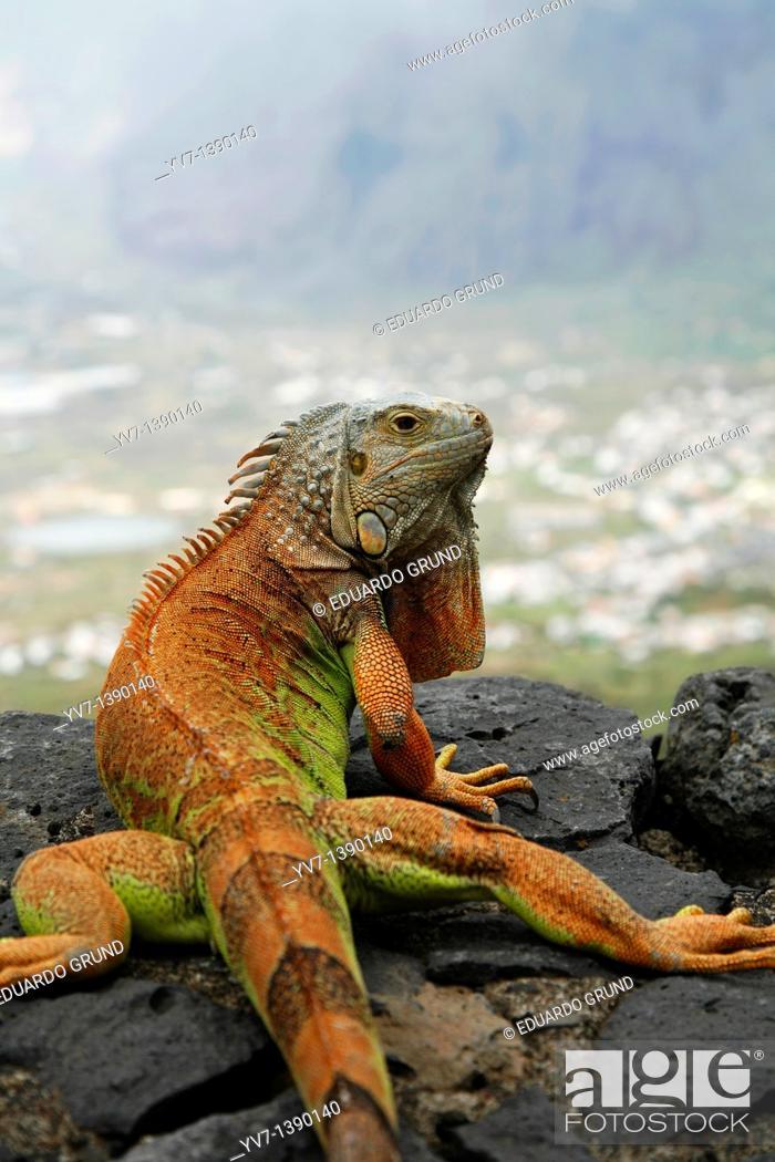 Stock Photo: Green Iguana Iguana iguana.