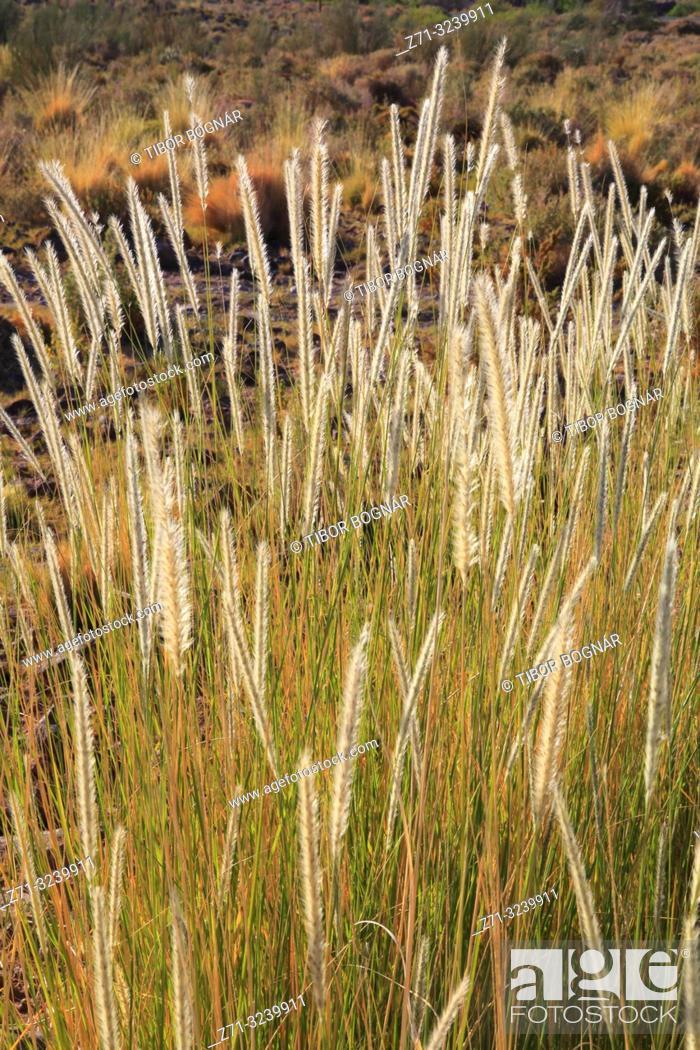 Stock Photo: Chile, Antofagasta Region, Atacama Desert, desert; flora, vegetation,.