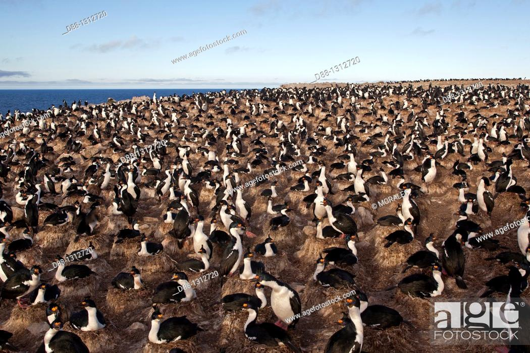 Stock Photo: Falkland Islands , Pebble island , King Shag or Imperial Shag Phalacrocorax atriceps albiventer.