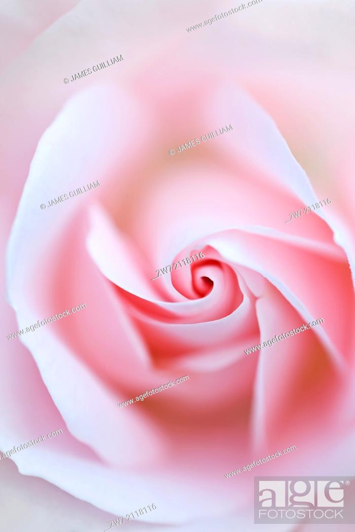Stock Photo: Rosa, rose type floribunda, variety Special Child (Taniripsa).