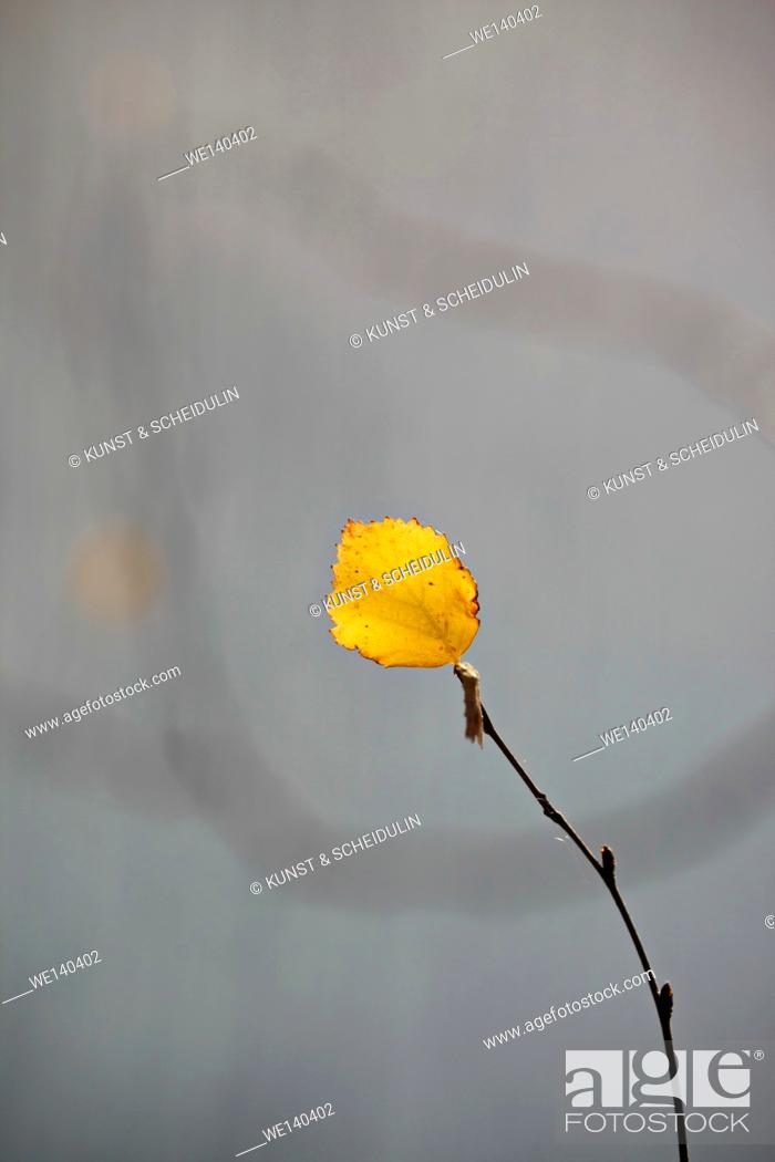 Stock Photo: A single golden birch leaf is clinging to its twig on a sunny day in fall.