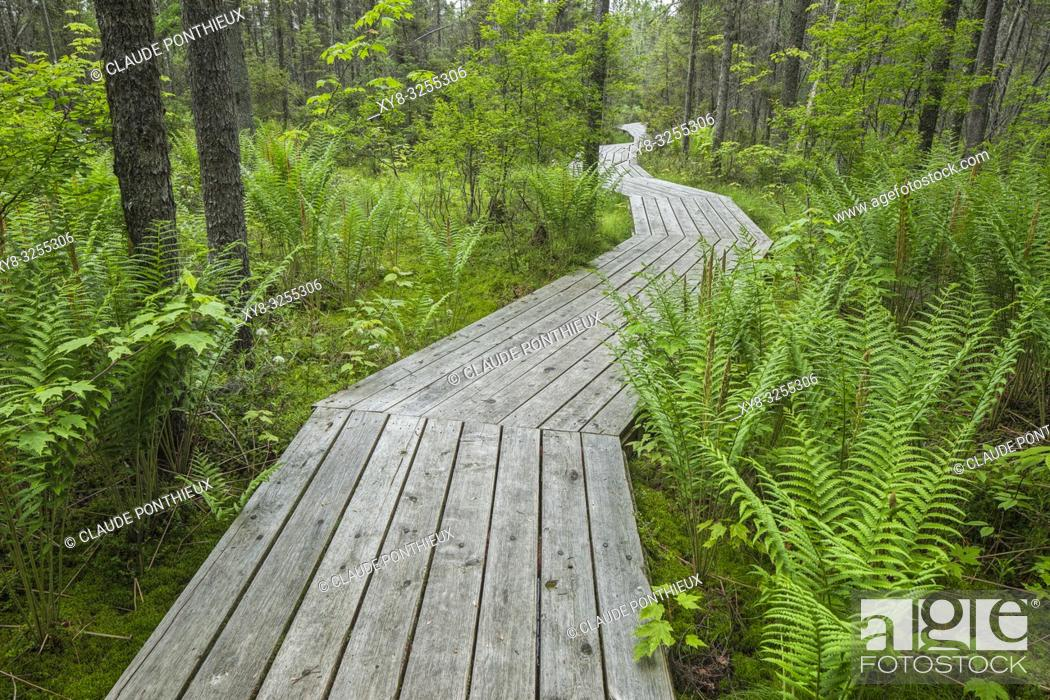 Stock Photo: Wooden boardwalk crossing conifer forest with ferns, Johnville Bog and Forest Park; Québec; Canada.