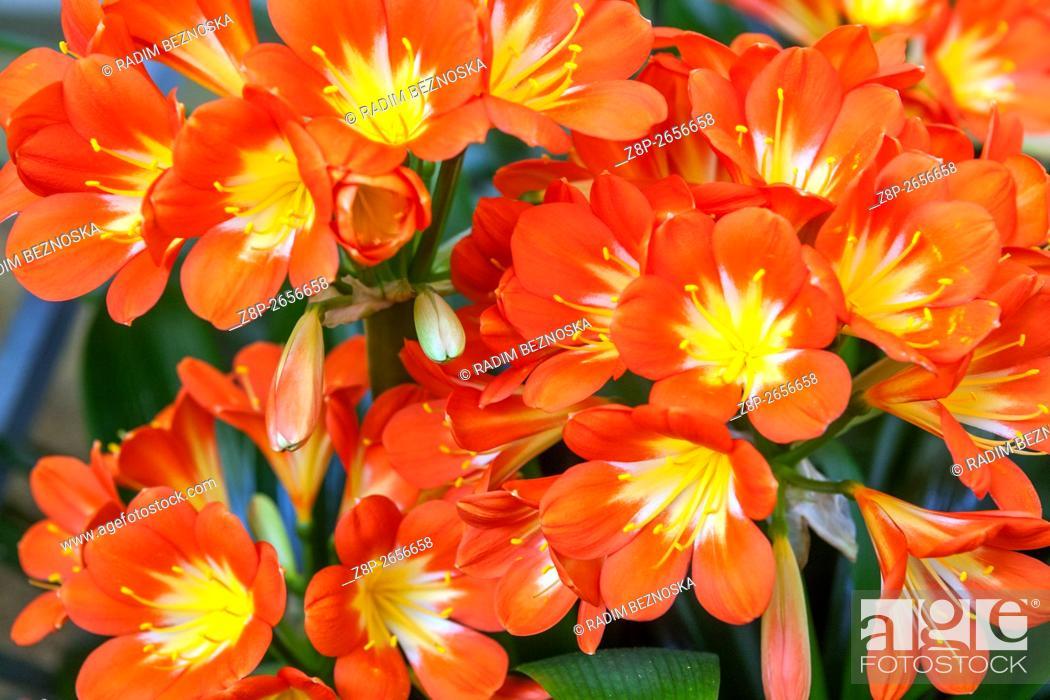Imagen: Natal lily, bush lily, Kaffir lily - Clivia miniata flowering.