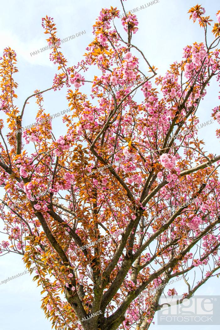 Stock Photo: 16 April 2020, Saxony, Leipzig: In Japanese culture, the Japanese cherry blossom is a highlight of the calendar. It marks the beginning of spring.