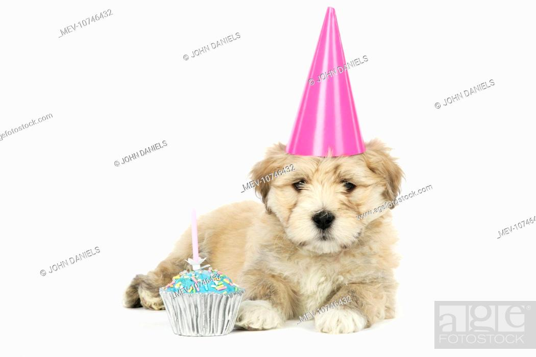 Dog 7 Week Old Lhasa Apso Cross Shih Tzu Puppy In Pink Party Hat