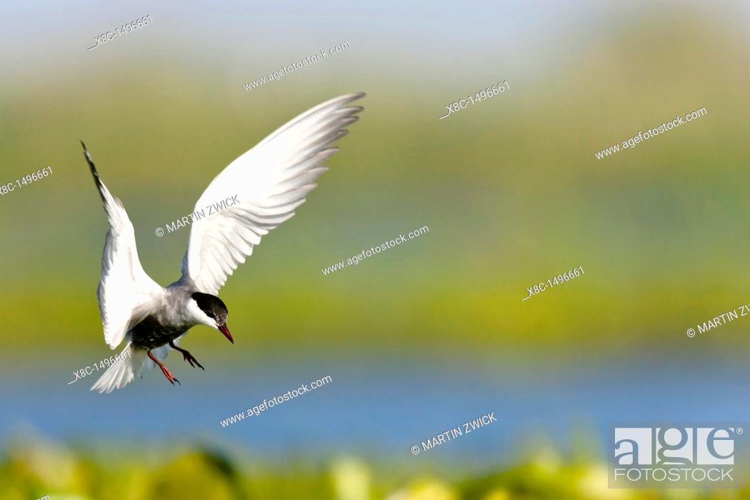 Stock Photo: Whiskered Tern or Marsh Tern chlidonias hybridus overing above nest in colony in the Danube Delta Europe, Eastern Europe, Romania, Danube Delta.