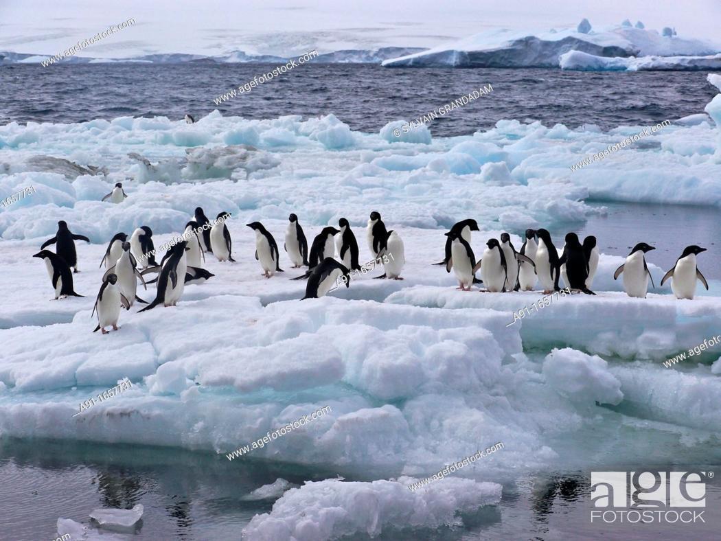 Stock Photo: Adelie Penguin (Pygoscelis adeliae) colony on Paulet Island, Antarctica.