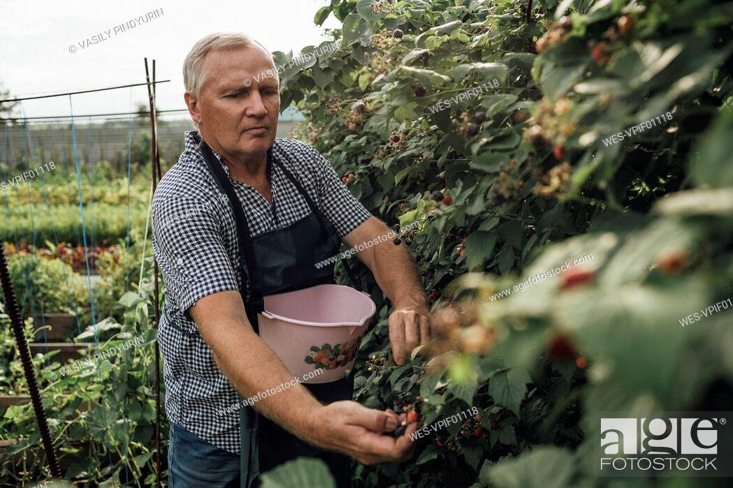 Stock Photo: Gardener harvesting berries in garden.