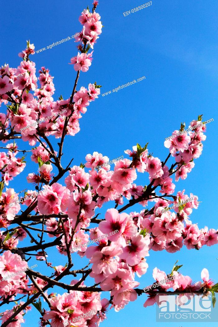 Stock Photo: Almond blossoms, cherry blossoms (Prunus dulcis).