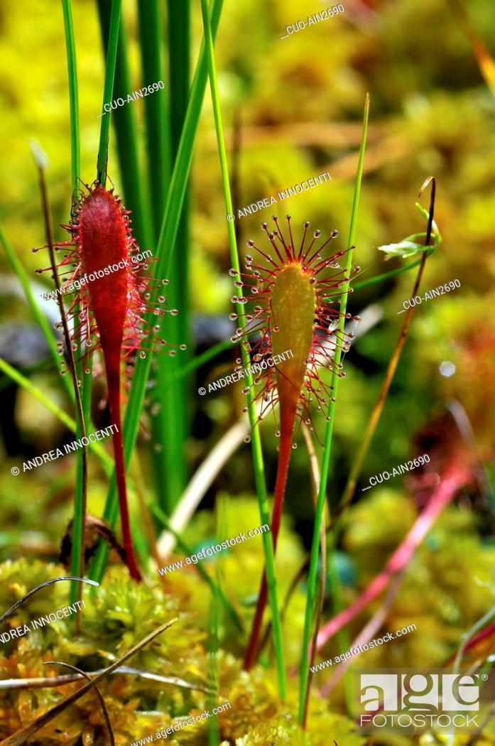 Stock Photo: Drosera anglica, English sundew or Great sundew.