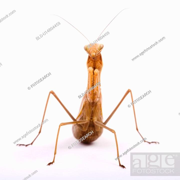 Stock Photo: brown, indoor photo, gottesanbeterin, ganzansicht, alfred.