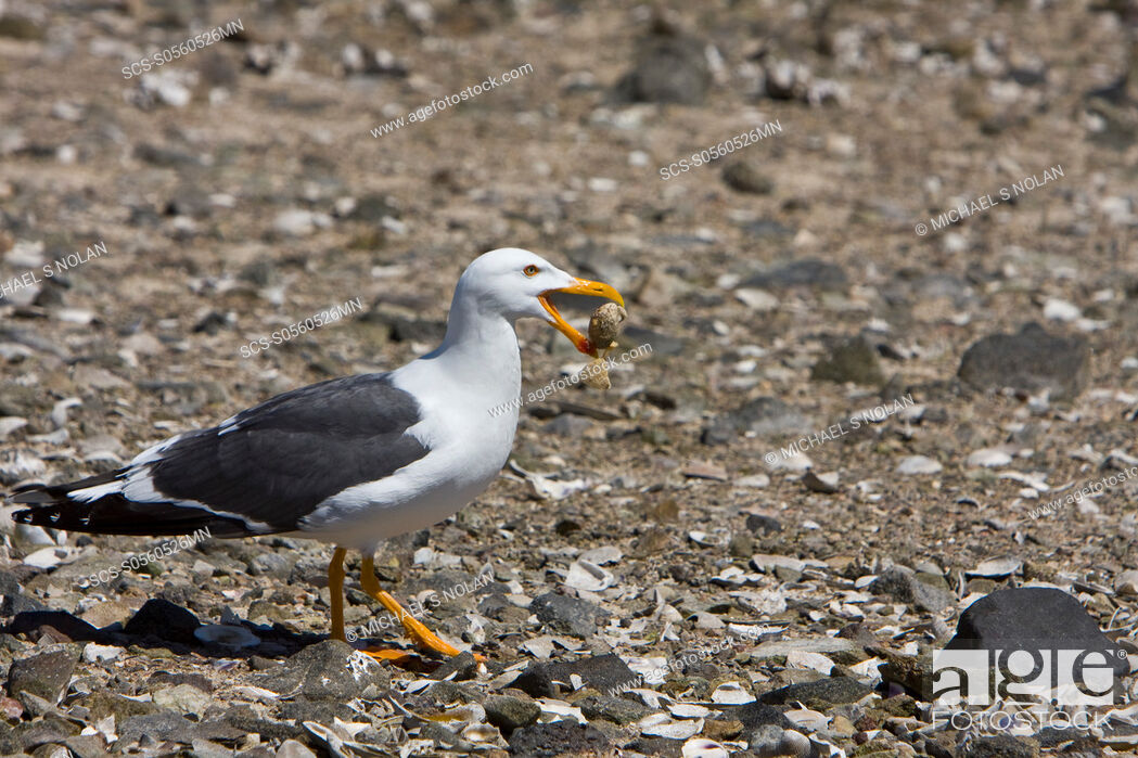 Stock Photo: Yellow-footed Gull Larus livens eating clams at low tide in Puerto Don Juan in the Gulf of California Sea of Cortez, Mexico MORE INFO: These gulls have.
