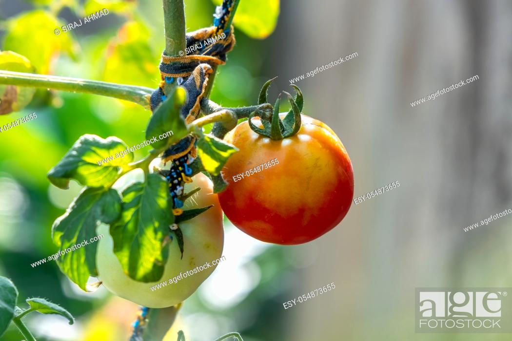 Stock Photo: Home grown Organic Tomato in Backyard Garden.