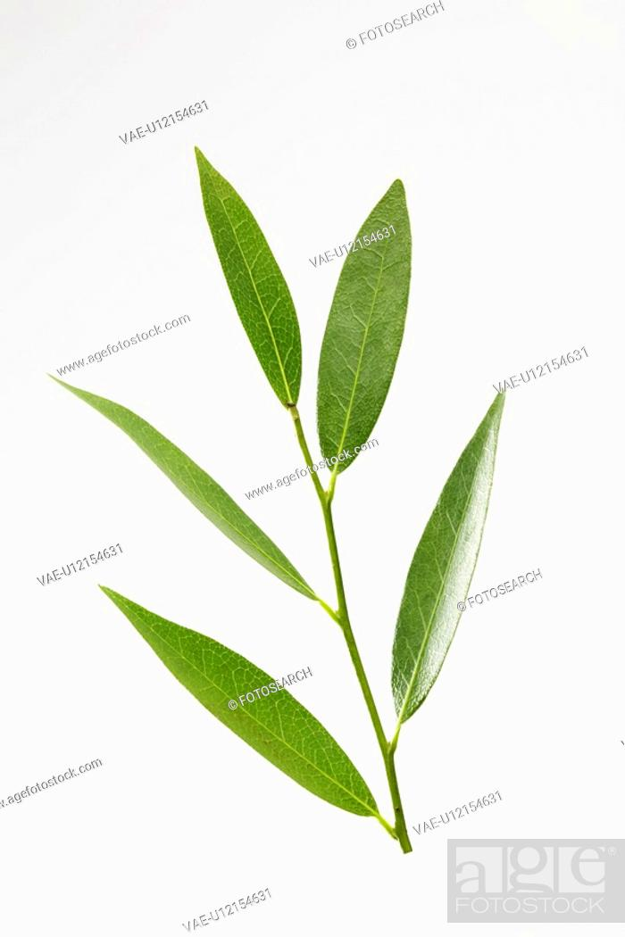 Stock Photo: Bay leaves.