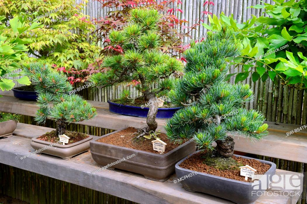 Japanese White Pine Pinus Parviflora Pinus Pentaphylla Bonsai Tree Stock Photo Picture And Rights Managed Image Pic Bwi Bs419415 Agefotostock