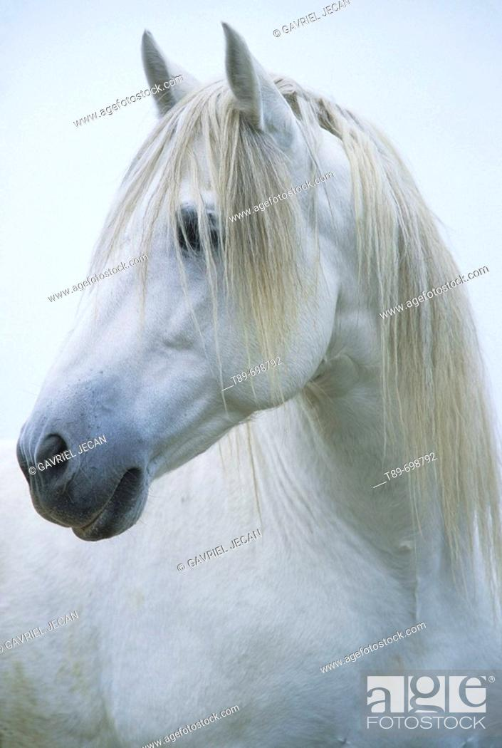 Stock Photo: Portrait of Camargue horse.
