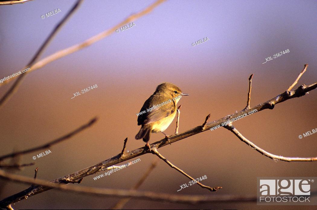 Stock Photo: Leaf Warbler (Phylloscopus sp.), European bird.
