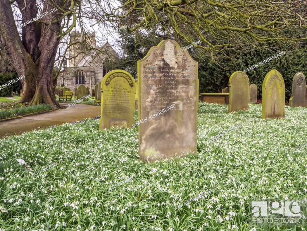Photo de stock: Snowdrops in bloom in the churchyard at St Thomas a Becket Church Hampsthwaite North Yorkshire England.