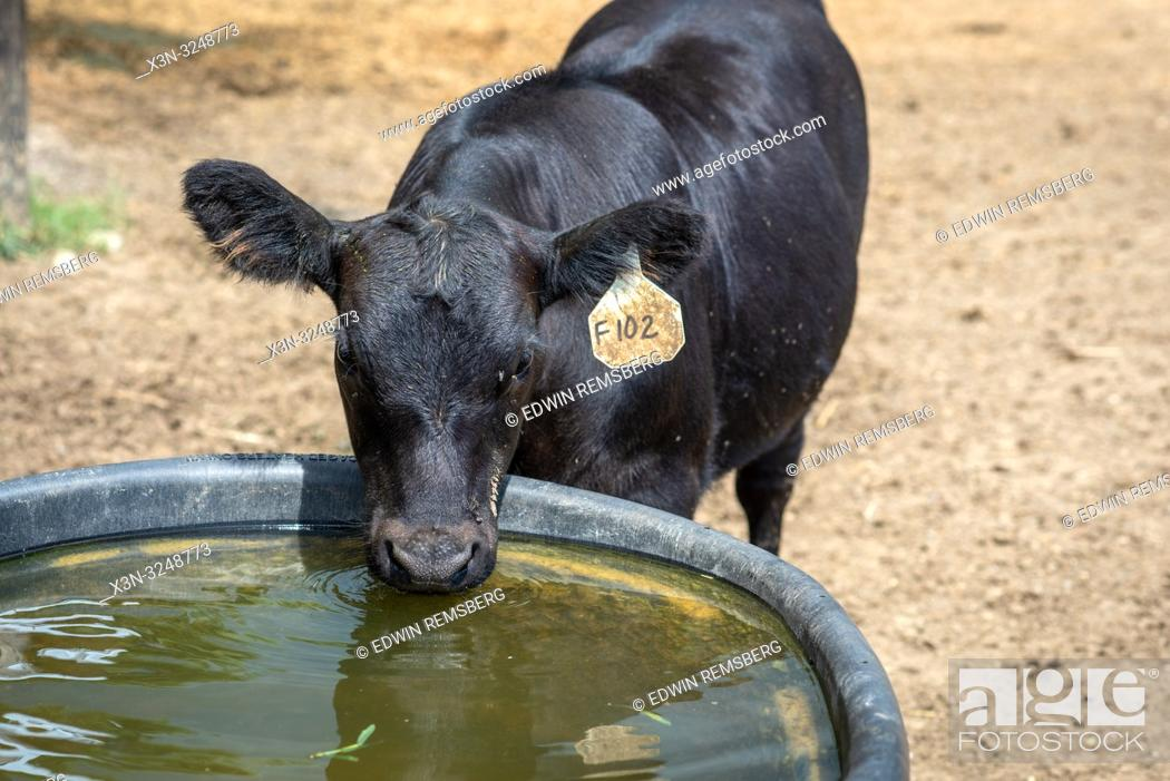 Stock Photo: Angus cow takes a drink of water from trough, Valley Lee, Maryland.