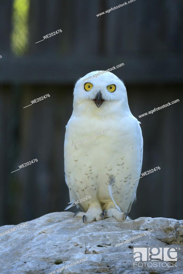 Imagen: Snowy Owl, Bubo scandiacus.