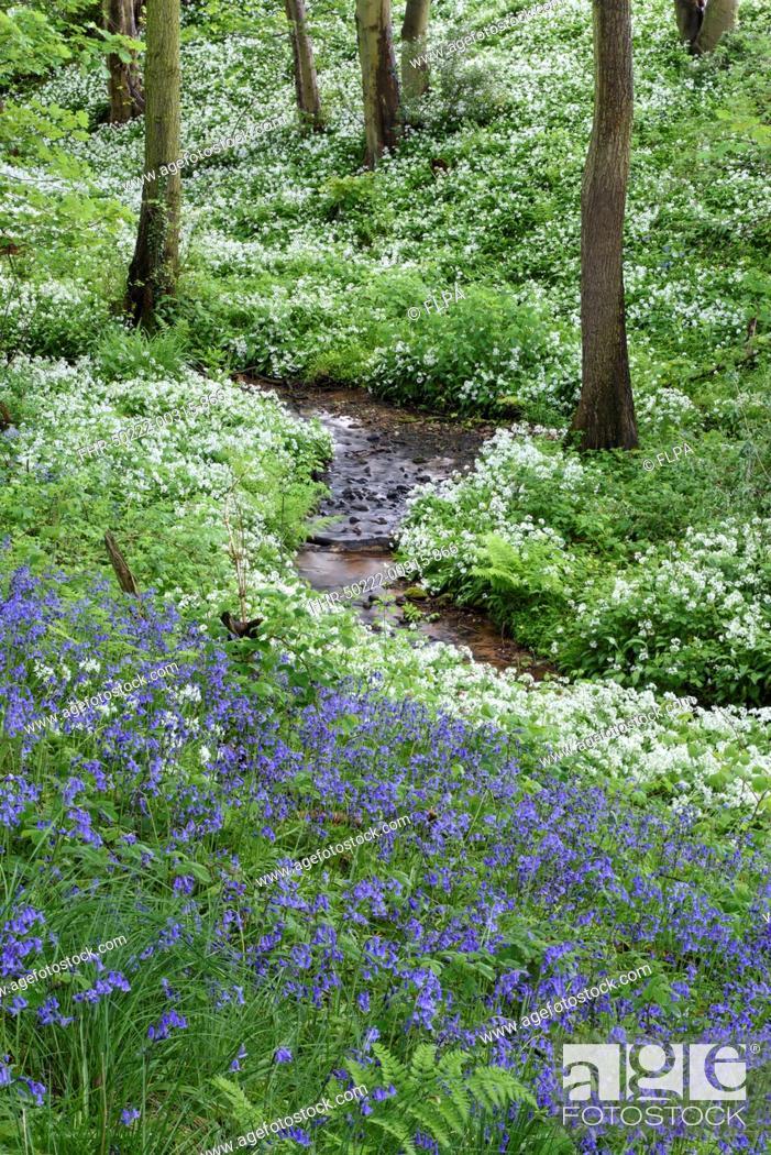 Stock Photo: Common Bluebell (Hyacinthoides non-scripta) and Ramsons (Allium ursinum) flowering mass, growing beside stream in ancient deciduous woodland habitat.