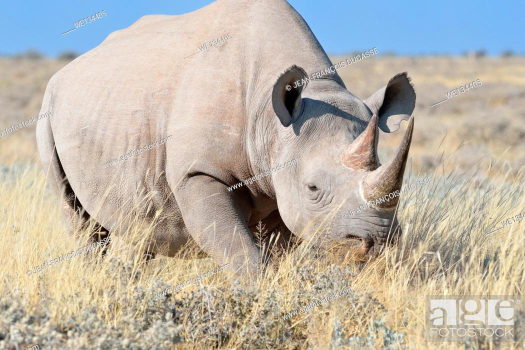 Stock Photo: Black rhinoceros (Diceros bicornis), male walking in dry grass, Etosha National Park, Namibia, Africa.