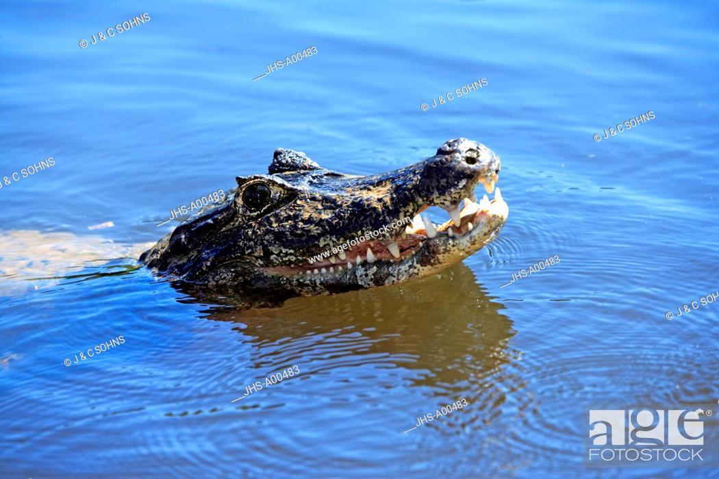 Stock Photo: Paraquay Caiman,Caiman yacare,Pantanal,Brazil,South Americal,adult in water.