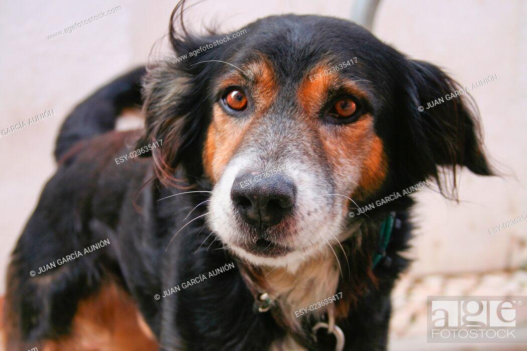 Imagen: Angry dog just before bark. Closeup shot, Lagos, Portugal.