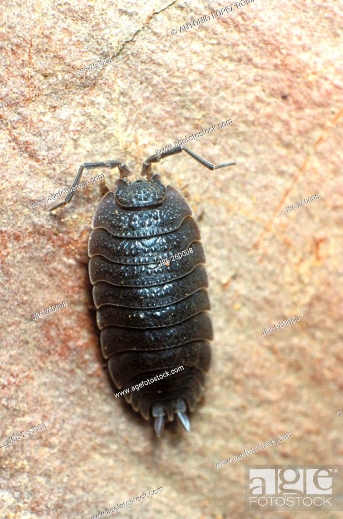Stock Photo: Wood louse (Porcellio scaber).