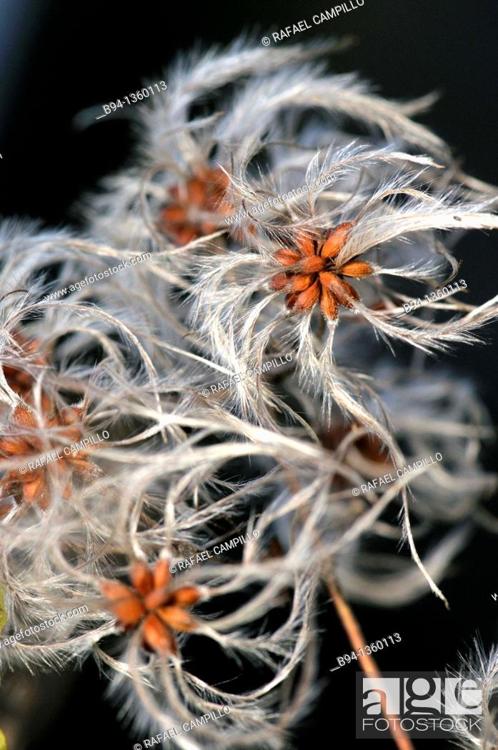 Stock Photo: Old man's beard (Clematis vitalba). Osseja, Pyrenees-Orientales, Languedoc-Roussillon, France.