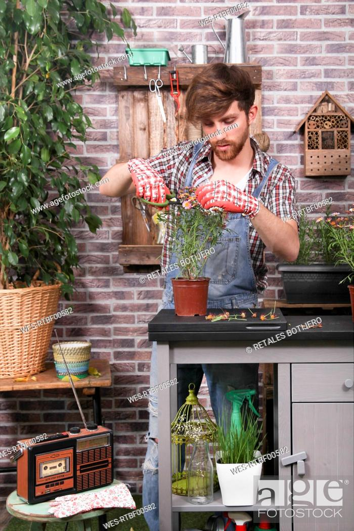 Stock Photo: Man arranging daisy pot with garden scissors on terrace.