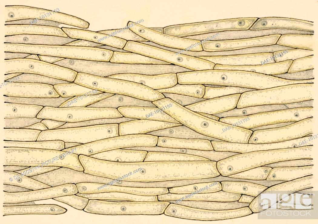 Stock Photo: Mushroom thallus (vegetative tissue), drawing.
