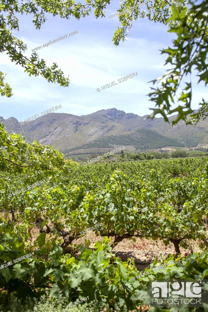 Stock Photo: Grande Provence Vines in Franschhoek - South Africa.
