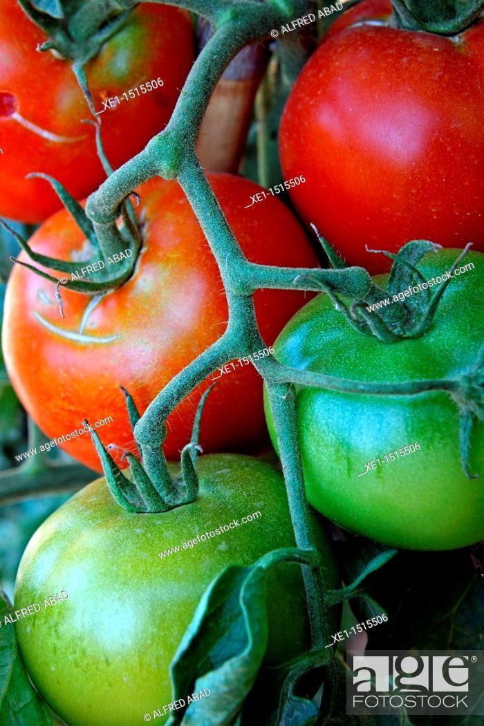 Stock Photo: Tomatoes growing on vine.