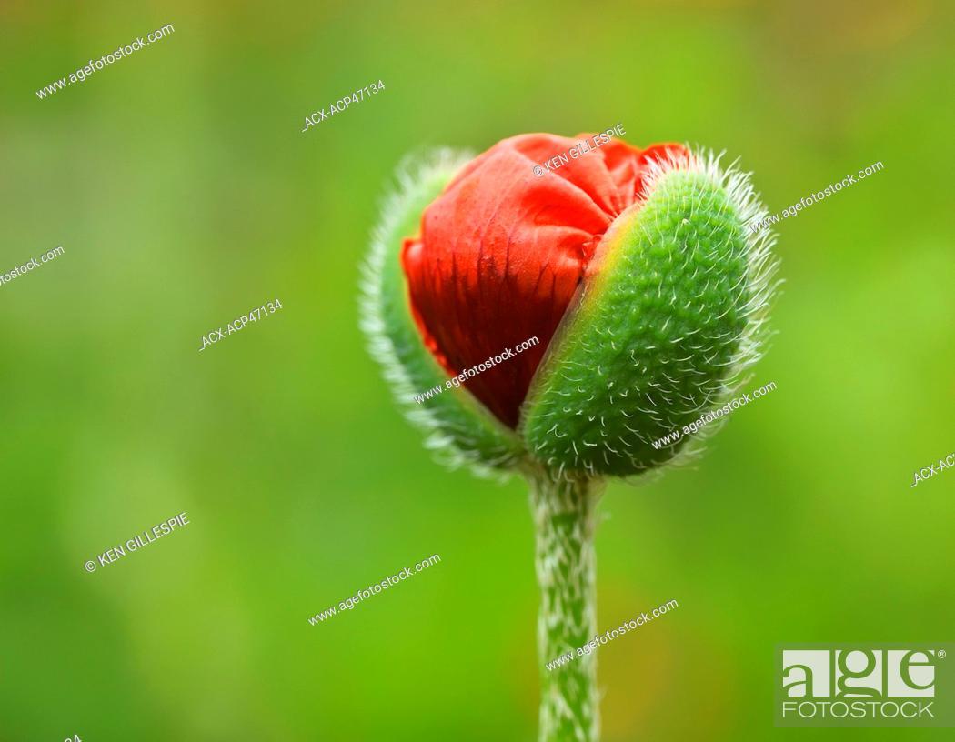 Oriental poppy flower bud manitoba canada stock photo picture stock photo oriental poppy flower bud manitoba canada mightylinksfo