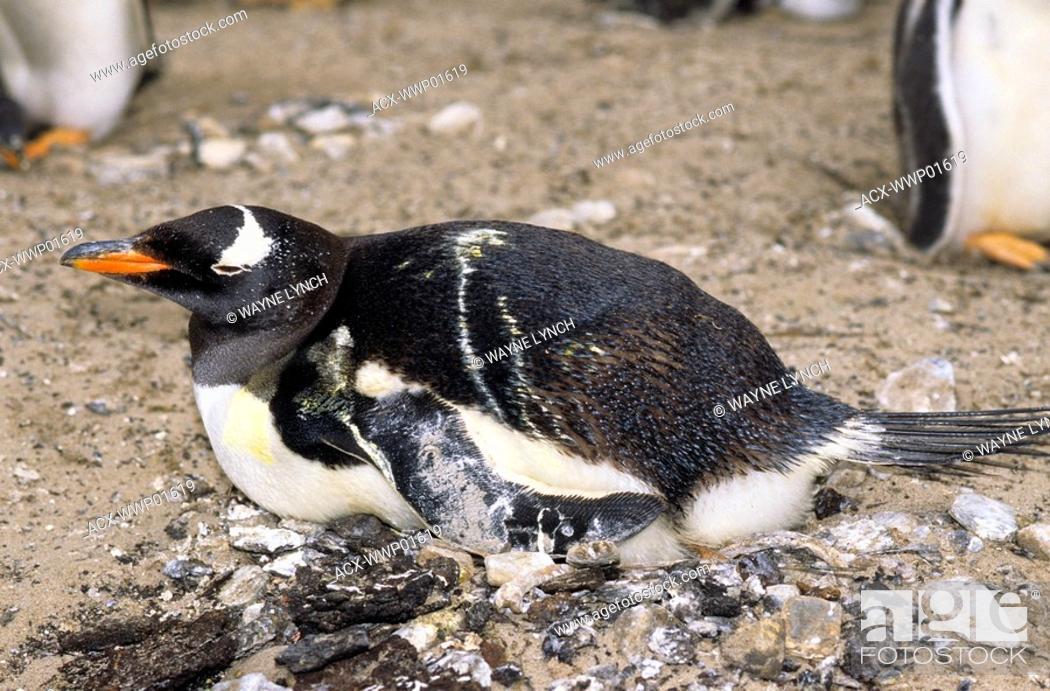 Stock Photo: Incubating guano-soiled gentoo penguin Pygoscelis papua, Sea Lion Island, Falkland Islands, southern Atlantic Ocean.