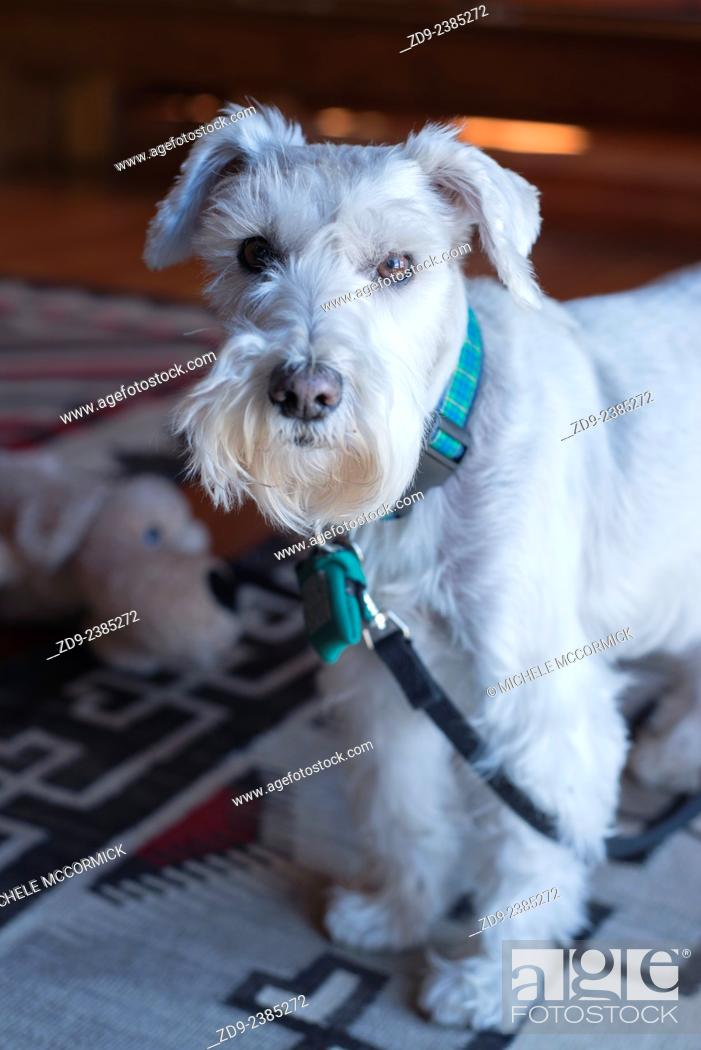 Stock Photo: A white miniature schnauzer has a very special appeal.