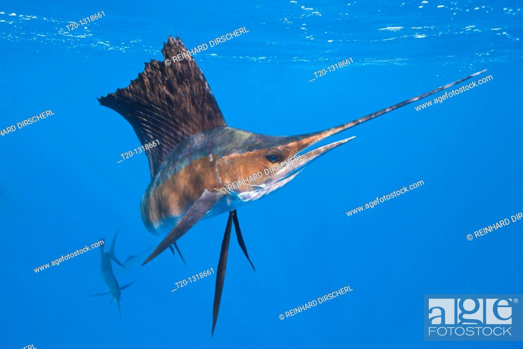 Stock Photo: Atlantic Sailfish, Istiophorus albicans, Isla Mujeres, Yucatan Peninsula, Caribbean Sea, Mexico.