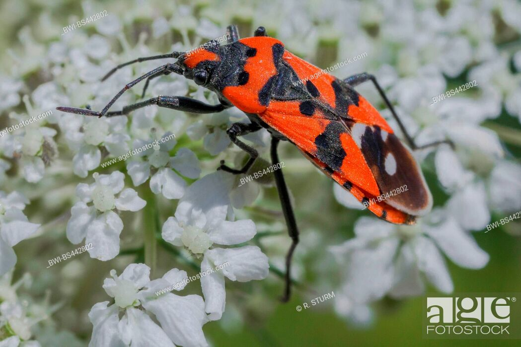 Imagen: seed bug (Lygaeus equestris), sucking nectar, Germany, Bavaria.