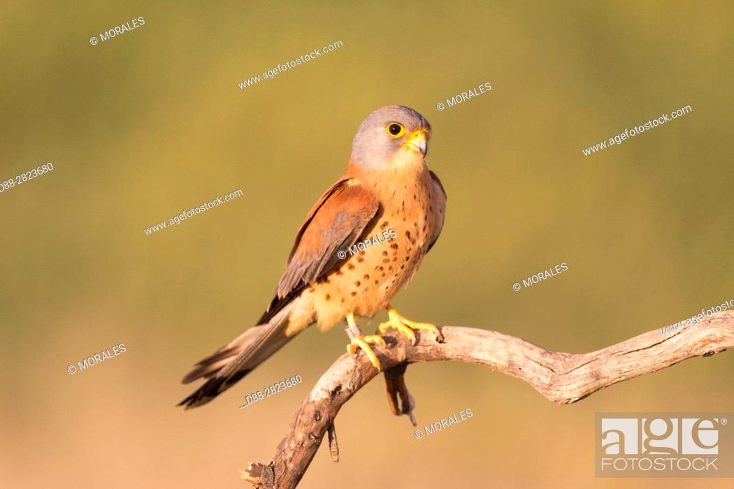 Stock Photo: Europe, Spain, Catalonia, Lesser Kestrel, male on a branch near the artificial cavity of a building entirely constructed for the nesting of these birds.