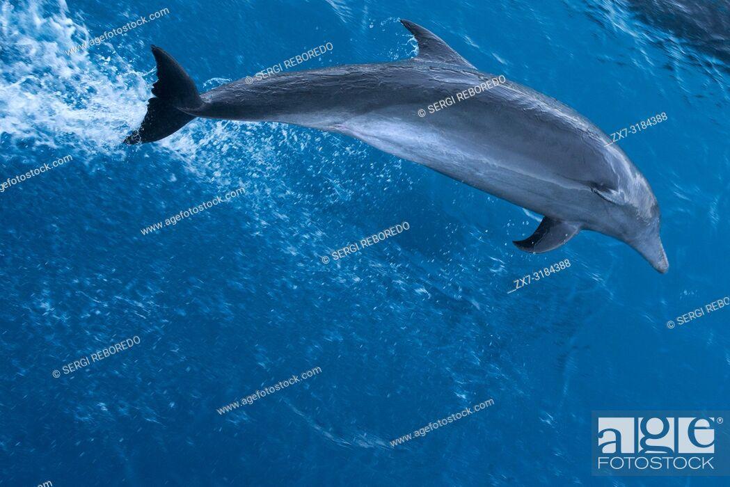 Stock Photo: Bottlenose Dolphin (Tursiops truncatus) riding waves. Dolphins in Tuamotu islands, Rangiroa Atoll, cruise aboard the Paul Gauguin cruise, Society Islands.