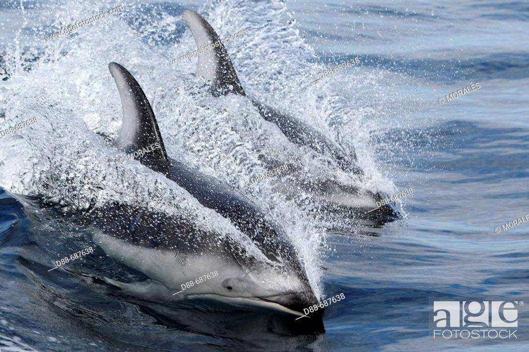 Stock Photo: Pacific White sided Dolphin (Lagenorhynchus obliquidens) Order: Cetacea. Family: Delphinidae.