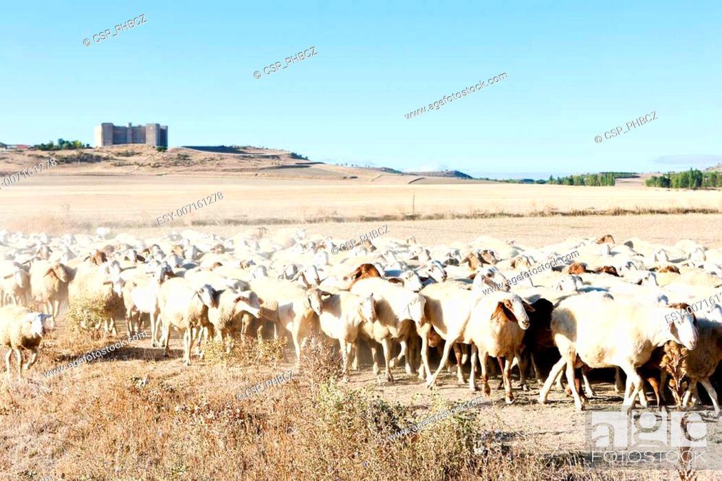 Stock Photo: sheep herd, Montealegre, Castile and Leon, Spain.