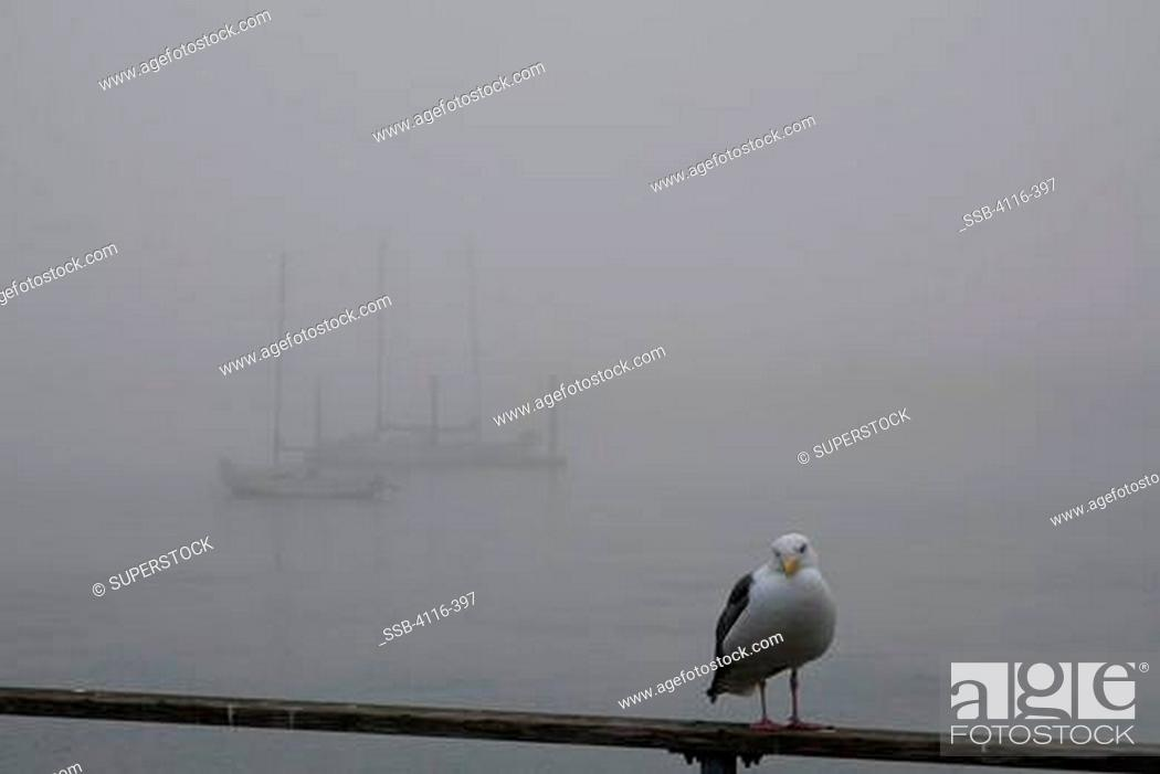 Stock Photo: USA, California, Morro Bay, Seagull on railing, moored boats in fog in background.