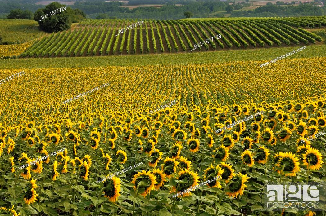 Stock Photo: Pilgrimage way to Santiago de Compostela: sunflowers and vine landscape between Condom and Eauze, Gers, Midi-Pyrenees, France.
