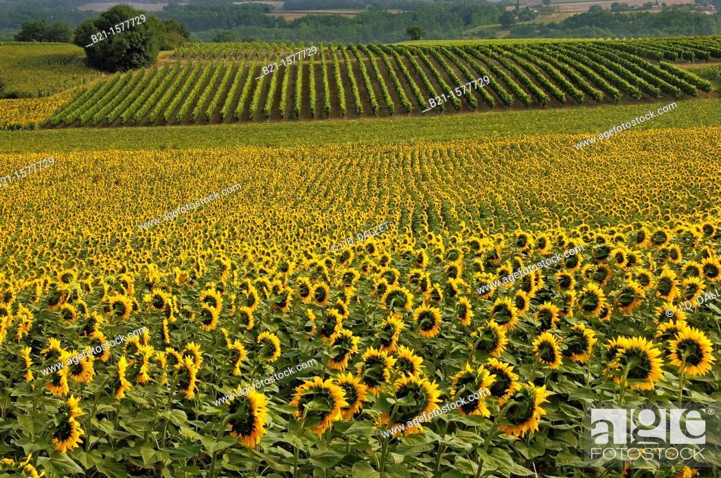 Stock Photo: Pilgrimage way to Santiago de Compostela: sunflowers and vine landscape between Condom and Eauze, Gers, Midi-Pyrenees, France.